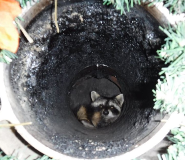 Raccoon at home inspection in Kansas City